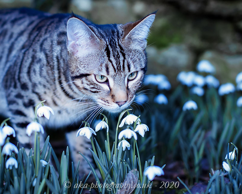 It's not spring quite yet but here are the snowdrops, with a Bengal kitty!